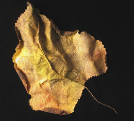 Prairie Dock Leaf