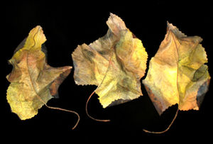 Prairie Dock Leaves, var. 1